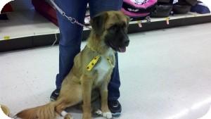 St. Bernard/Labrador Retriever Mix Dog for adoption in Pickerington, Ohio - Kita