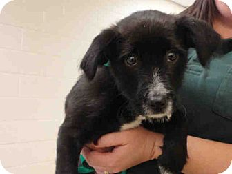 Border Collie Mix Puppy for adoption in Ogden, Utah - Cash