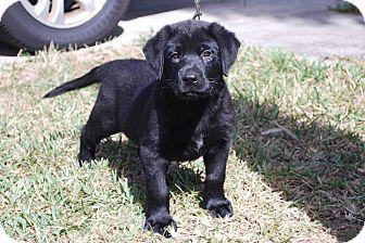 Labrador Retriever/German Shepherd Dog Mix Puppy for adoption in Minneola, Florida - Angus