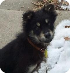 Shepherd (Unknown Type)/Retriever (Unknown Type) Mix Puppy for adoption in Saskatoon, Saskatchewan - Bonnie
