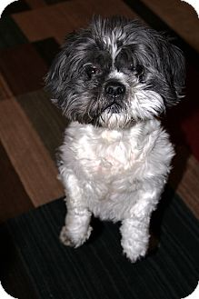 Shih Tzu Dog for adoption in Kingwood, Texas - Buddy