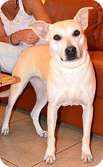 Labrador Retriever/Carolina Dog Mix Dog for adoption in Ft. Lauderdale, Florida - Blanquito