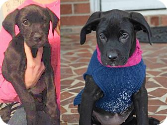 Labrador Retriever Mix Puppy for adoption in Kimberton, Pennsylvania - Sadie
