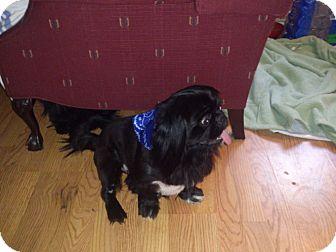 Pekingese Mix Dog for adoption in Oklahoma City, Oklahoma - Marley