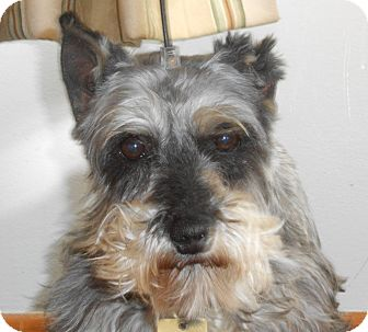 Miniature Schnauzer Dog for adoption in Sharonville, Ohio - Piper-Adoption Pending