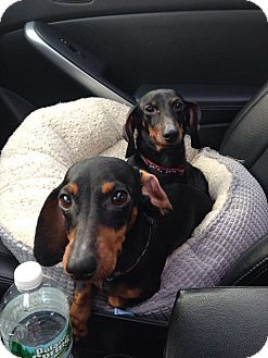 Dachshund Dog for adoption in North Brunswick, New Jersey - Prince