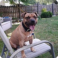 Adopt A Pet :: Ringo - Fenton, MI