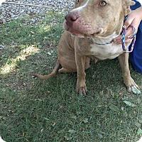 Adopt A Pet :: STELLA - Childress, TX