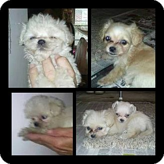 Maltese Mix Puppy for adoption in Lima, Pennsylvania - Maltipoo puppies