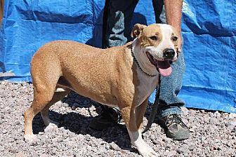 American Staffordshire Terrier Dog for adoption in Golden Valley, Arizona - Utah
