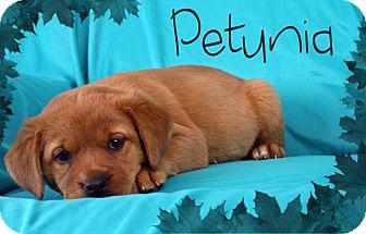 Golden Retriever/Labrador Retriever Mix Puppy for adoption in Ogden, Utah - Petunia