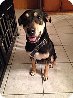 Beagle/Doberman Pinscher Mix Dog for adoption in Woodstock, Ontario - Daiya