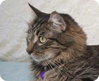 Maine Coon Cat for adoption in Oakland, California - Apollo