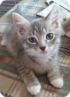 Domestic Shorthair Kitten for adoption in North Highlands, California - Nellie