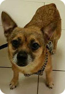Chihuahua Mix Dog for adoption in Philadelphia, Pennsylvania - Chocolate sponsored w/ Blackie