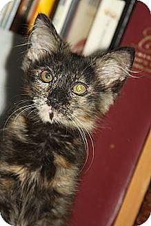 Maine Coon Kitten for adoption in Rocklin, California - Koki