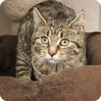 Domestic Shorthair Kitten for adoption in Naperville, Illinois - Raisen