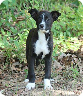 Terrier (Unknown Type, Medium) Puppy for adoption in Newburgh, Indiana - Joe