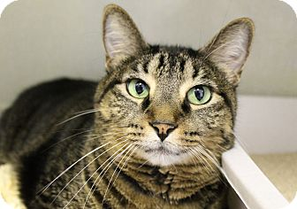 Domestic Shorthair Cat for adoption in Chicago, Illinois - Ting Ting