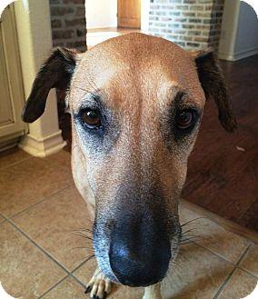 Black Mouth Cur/Shepherd (Unknown Type) Mix Dog for adoption in San Antonio, Texas - Maverick