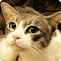 Domestic Shorthair Cat for adoption in Los Angeles, California - Lacey (2)