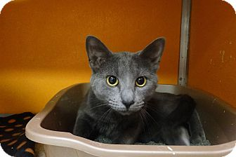 Russian Blue Cat for adoption in Elyria, Ohio - Smith
