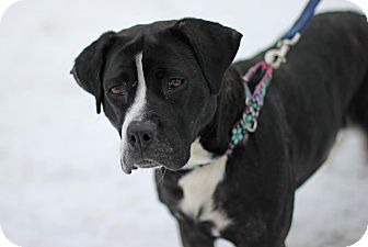 Boxer/Labrador Retriever Mix Dog for adoption in Midland, Michigan - Sophie