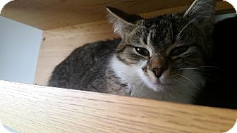 Domestic Shorthair Cat for adoption in China, Michigan - Jill