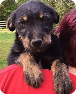 Airedale Terrier Mix Puppy for adoption in Stamford, Connecticut - Harrison - adorable