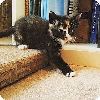 Domestic Shorthair Kitten for adoption in THORNHILL, Ontario - Rizzo