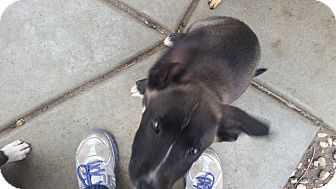 Belgian Malinois/Shepherd (Unknown Type) Mix Puppy for adoption in temecula, California - Rome