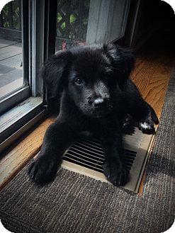 Shepherd (Unknown Type) Mix Puppy for adoption in Woodstock, Georgia - Scarlett