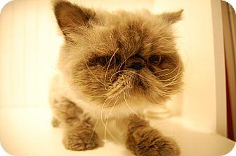 Himalayan Cat for adoption in Minot, North Dakota - Yetti