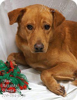 Labrador Retriever Mix Dog for adoption in Newnan City, Georgia - Red