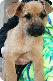 Labrador Retriever/Cairn Terrier Mix Puppy for adoption in Phoenix, Arizona - Junior Mints