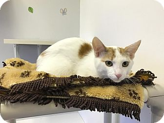 Domestic Shorthair Cat for adoption in China, Michigan - Bryce
