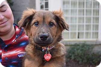 German Shepherd Dog/Golden Retriever Mix Puppy for adoption in Nyack, New York - Scout