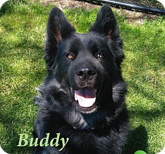 Border Collie/Shepherd (Unknown Type) Mix Dog for adoption in El Cajon, California - Buddy