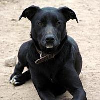 Labrador Retriever Dog for adoption in Quinlan, Texas - Izzy girl