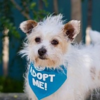 Adopt A Pet :: Dolly Terrier - Pacific Grove, CA