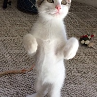 Domestic Shorthair Kitten for adoption in Prescott, Arizona - Wyatt