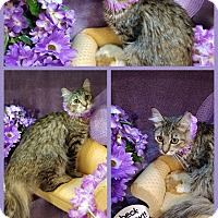 Maine Coon Cat for adoption in Arlington/Ft Worth, Texas - Layla