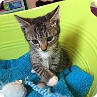Adopt A Pet :: Mittens - Plainfield, IL