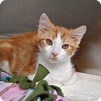 Domestic Mediumhair Kitten for adoption in Van Nuys, California - Colton