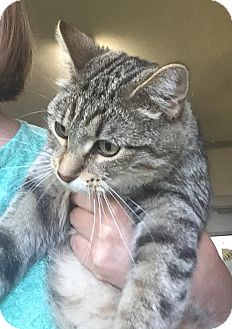 Domestic Shorthair Cat for adoption in Jackson, Michigan - Lady