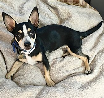 Miniature Pinscher/Rat Terrier Mix Puppy for adoption in Burbank, California - Pretty Valentina