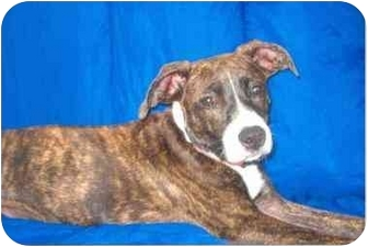 Shepherd (Unknown Type)/Pit Bull Terrier Mix Puppy for adoption in Northville, Michigan - Lola (PENDING)