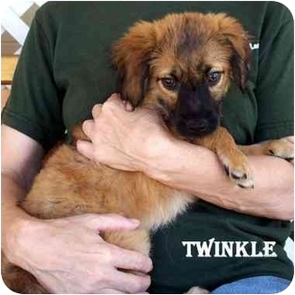Spaniel (Unknown Type) Mix Puppy for adoption in Slidell, Louisiana - TWINKLE