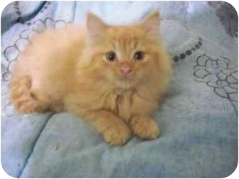 Domestic Longhair Kitten for adoption in Laval, Quebec - Jeffrey