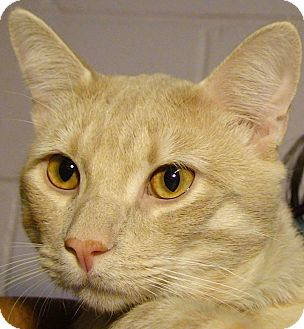 Domestic Shorthair Cat for adoption in El Cajon, California - Doodles